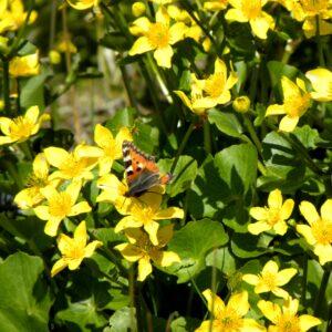 Sommerfugl Nældens takvinge på eng kabbeleje